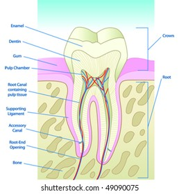 Cross section of teeth images stock photos vectors shutterstock vector illustrated tooth diagram cross section with labels ccuart Gallery