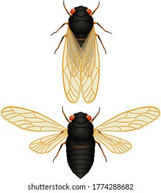 "Vector illustration of a 17-year cicada (""locust""), with wings both folded and spread."