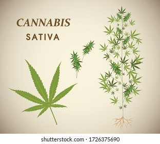 Vector illustration about Cannabis plants, seeds, Strains of sativa, medicinal plant