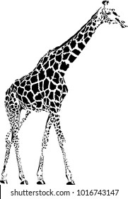 Vector illustration of abstract black giraffe isolate on white background