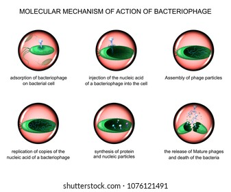 vector illustration of the action of bacteriophages on bacteria.