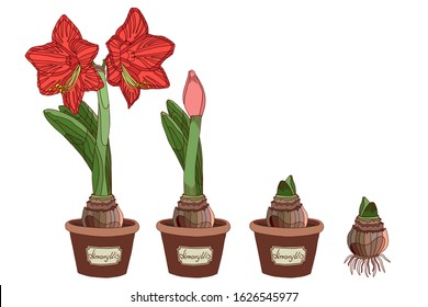 Vector illustration. Amaryllis growth stages. Hippeastrum in a pot. Bulb, sprout and amaryllis flower. Red flower in a pot. Elegant spring illustration.
