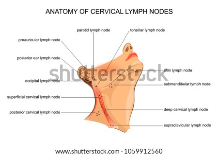 Vector Illustration Anatomy Cervical Lymph Nodes Stock Vector ...
