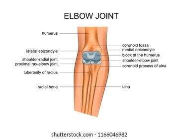 vector illustration of anatomy of the elbow joint