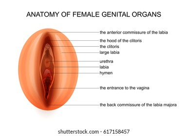 vector illustration of anatomy of female genital organs
