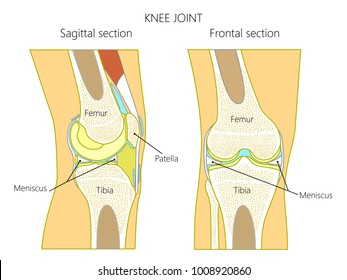 Vector illustration. Anatomy of a healthy knee joint, sagittal and frontal section of the knee. For advertising and medical publications. EPS 10.