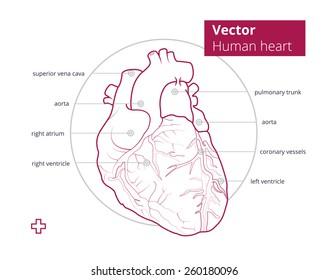 Vector illustration anatomy heart vector illustration stock vector vector illustration of anatomy of heart vector illustration of the human heart with description of ccuart Choice Image