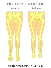 Vector illustration anatomy of a human pelvic girdle and legs. Front and back view. For advertising and medical publications. EPS 8.