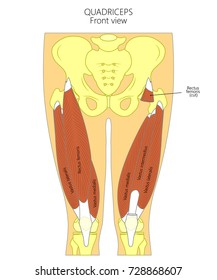 Vector illustration. Anatomy of human quadriceps. Front view. For advertising and medical publications. EPS 10