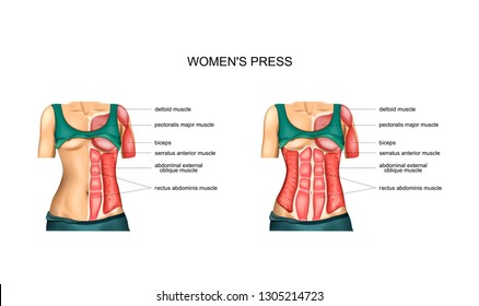 vector illustration of anatomy of torso muscles