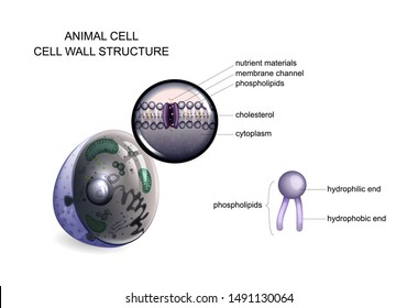 vector illustration of an animal cell. cell wall structure