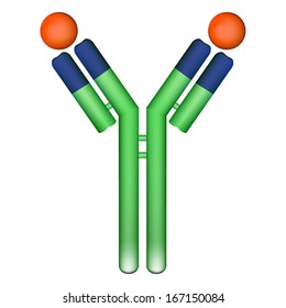 Vector illustration of antibody molecule immunoglobulin with bound antigen