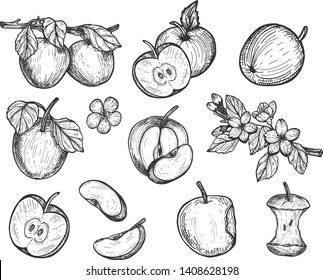 Vector illustration of apple set. Juisy fruit whole, sliced, cut in pieces, on the branch, bitten, core, stalk, flowers, tree blossom. Vintage hand drawn style.