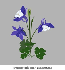Vector illustration. Aquilegia (columbine) - medicinal plant on a isolated background. Template for postcard, packaging, web design.