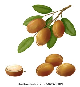 Vector illustration of an argan, made in a realistic style. Fruits on a branch. Isolated objects on white background