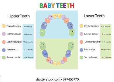 Vector illustration - baby first   teeth. Children Teeth anatomy. Dental Teeth Chart and the timing of their appearance. Dental titles of every milk tooth