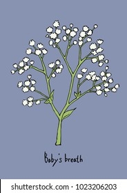 Vector Illustration. Baby's breath flowers illustration with color.