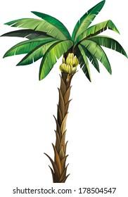 Vector illustration of Banana Palm plant tree isolated. Musa acuminata banana. Isolated on white
