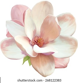 Vector Illustration of beautiful magnolia, Spring flower isolated on white background