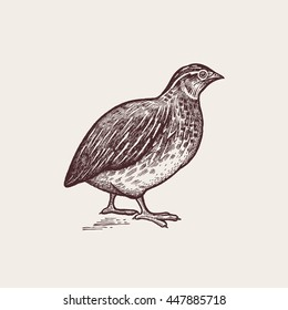 Vector illustration - a bird quail. A series of farm animals. Graphics, handmade drawing. Vintage engraving style. Nature - Sketch. Isolated fowls image on a white background.