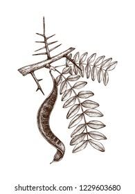Vector illustration of black locust on white background. Hand drawn Tree sketch with leaves, seeds and thorns. Botanical illustration