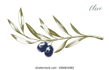 Vector illustration of black olives on branch. Isolated design element. Hand drawn engraving sketch.