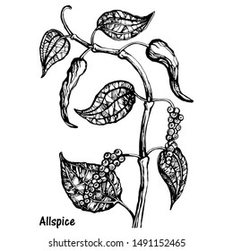 Vector illustration of black pepper plant with leaves and peppercorns, isolated on white background. Botanical hand drawn sketch in engraving style. Natural allspice seasoning for eating and cooking