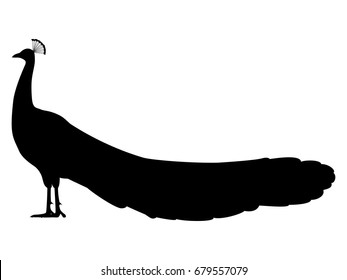 Vector illustration of a black silhouette peacock. Isolated white background. Icon peafowl side view profile.