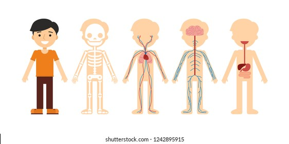 Vector illustration of body anatomy. Human skeleton, circulatory system, nervous system and digestive system.