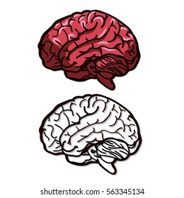 Vector illustration of a brain. Color and line