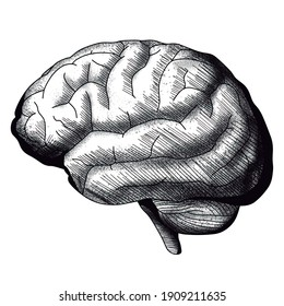 Vector illustration of the Brain, lateral view. Artwork