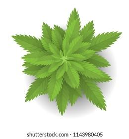 Vector illustration. Cannabis or Marijuana. Top view.