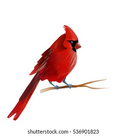 Vector illustration of cardinal