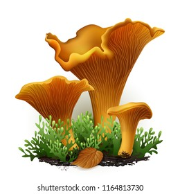 Vector illustration - chanterelle mushrooms set Isolated on white background. EPS 10