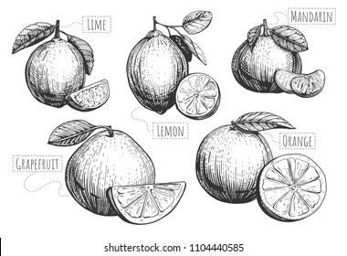 Vector illustration of citrus fruits, slices and wedges. Lime, lemon, mandarin, grapefruit, orange with leaves engraving. Vintage hand drawn style.