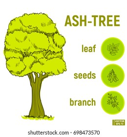 Vector illustration. Color green sketch of a tree. A set of Doodle, a hand drawing of an ash tree, icons from its branches and seeds.