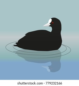 A vector illustration of a common coot or Eurasian coot swimming and looking backwards
