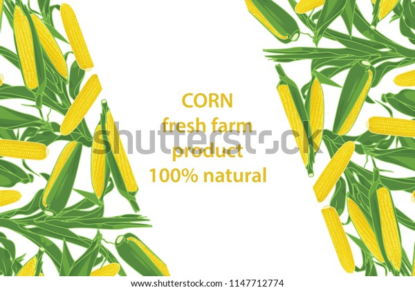 vector illustration of corn and leaf design background white and vegetable and text fresh farm product 100% natural EPS10
