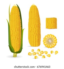 Vector illustration of Corn, Ripe corn cobs, corn seeds. Isolated on white background.