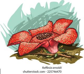 Vector illustration of Corpse flower (Rafflesia arnoldii).