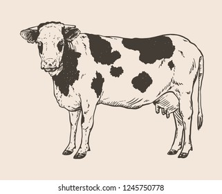Vector illustration of cow   Hand drawn realistic sketching