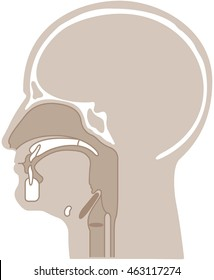 vector illustration of a cross section of a human head emphasizing the throat/larynx
