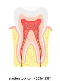 A vector illustration cross section of tooth and gum anatomy. Tooth Anatomy. Tooth anatomical depiction.