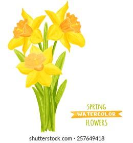Vector illustration of daffodils. Watercolor floral illustration. Floral design elements. Global color used.