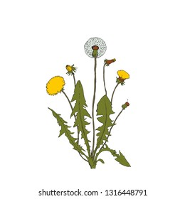 Vector illustration - Dandelion botanical isolated illustration. Plant, flowers, leaves, hand drawn set