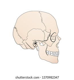 vector illustration depicting the structure of the skull on a white background