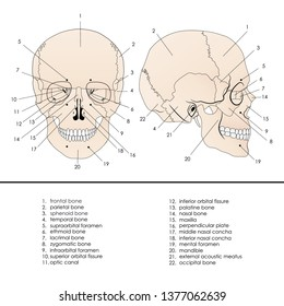 Vector illustration depicting the structure of the skull on a white background. Lateral and anterior view.