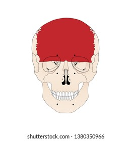 Vector illustration depicting the structure of the skull on a white background. Anterior view. The forehead area is highlighted in red. Forehead bone.