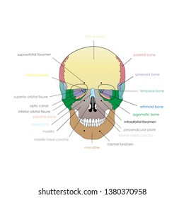 Vector illustration depicting the structure of the skull on a white background. Anterior view.