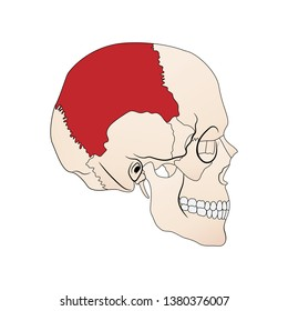 Vector illustration depicting the structure of the skull on a white background. Lateral view. The parietal bone is highlighted in red. Parietal bone.